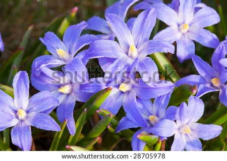Small blue flowers with water droplets in the morning