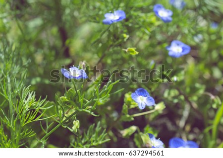 Free Photos Small Blue Spring Flowers On A Background Of Dry Grass