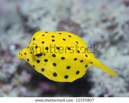 Small boxfish underwater close-up. Celebes sea. Sipadan.