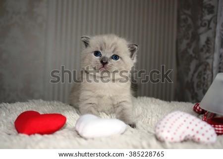 Small British kitten cat posing #385228765