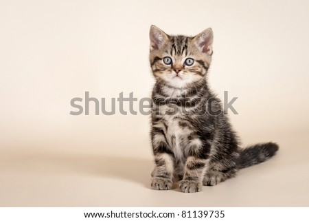 Small british kitten on  beige background