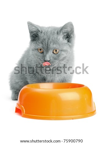 small british  kitten on the white background