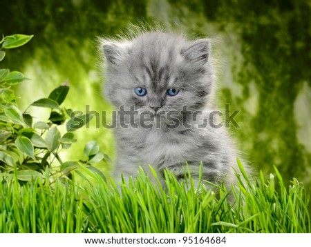 small british  kitten the age of 1 month in the grass