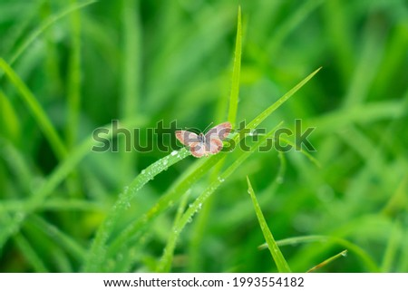 small brown butterfly perched on leaf or blade of grass. The butterfly is searching for food in the morning.