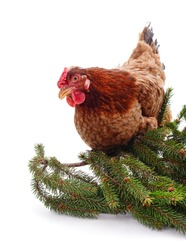 Small brown chicken with a Christmas tree branch isolated on a white background.