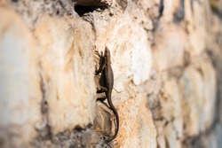 Small brown colored lizard or little gecko climbing vertically on a brick stone wall outdoor. European wall lizard ,podarcis muralis, basking in the sun. Blurry background.