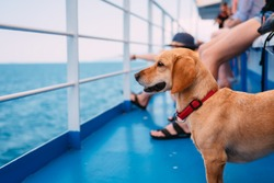 Small brown dog traveling on the ferry with his owners and panting while looking at the sea