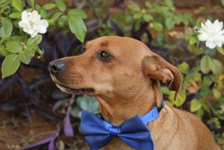 Small brown dog with blue bowtie