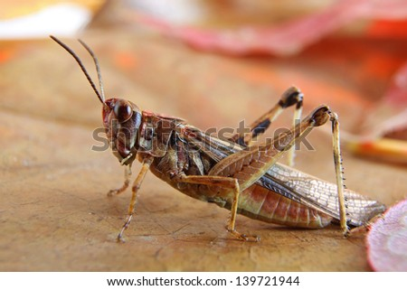 Small Brown Grasshopper on Brown and Red Leaves