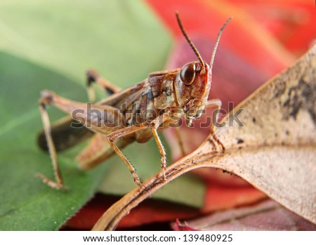 Small Brown Grasshopper on Red and Green Leaves