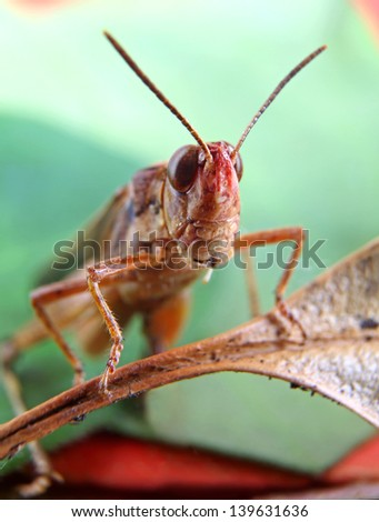 Small Brown Grasshopper on Red and Green Leaves in narrow focus