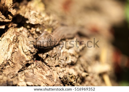 Small, brown lizard in the forest Stock Photo 516969328