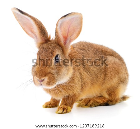 Small brown rabbit isolated on white background.