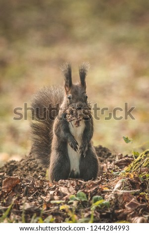 Small brown squirrel with pointing ears eating food in a park next to a tree. Frontal photo of squirrel with branches and hay in his mouth looking towards camera.