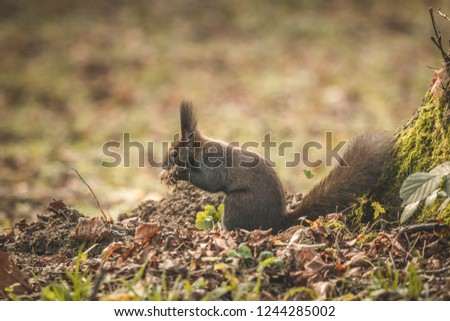 Small brown squirrel with pointing ears eating food in a park next to a tree. Side photo of squirrel with branches and hay in his mouth.