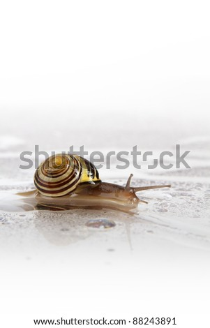 Small brown striped snail slides on a smooth reflective white surface through water droplets, leaving a trail. White background, focus on snail, vertical format, copy space.