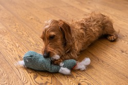 Small Brown Wire-haired Dachshund Lying On A Wooden Floor And Chewing On A Soft Toy