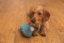 Small Brown Wire-haired Dachshund Lying On A Wooden Floor And Guiltily Looks At The Owner Next To The Destroyed Toy