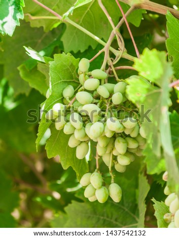 Small bunches of young green grapes with leaves in the garden