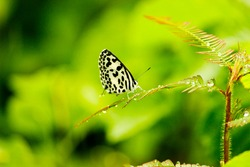 Small butterfly with beautiful spots on her wings  name common pierrot