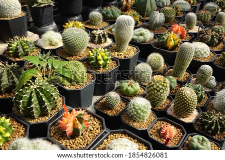small cactus different colors growing in pots
