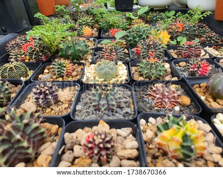Small cactus in a flower pot ,Plant for decoration,Group of small cactus in the pot