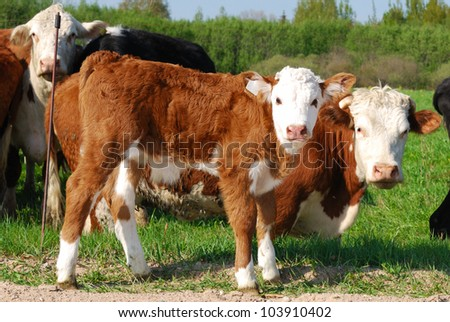 Small calf and cow