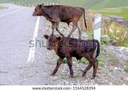 Small calves on high mountain pasture #1164528394