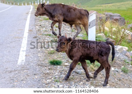 Small calves on high mountain pasture #1164528406