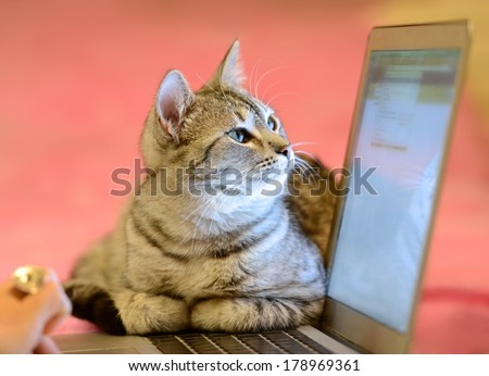 Small cat in a home office peeping behind a computer screen, domestic cat in natural background, small cat playing at home, playing cat, cat and computer