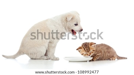 Small cat kitten lap milk from bowl. Funny puppy looking at him.