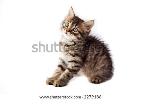 small cat of angora on white bottom