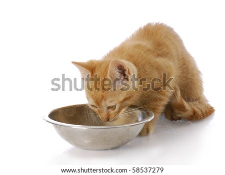small cat or kitten eating out of stainless steel food dish with reflection on white background