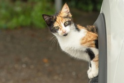 Small cat with yellow, black and white spots coming out of the wheel well of a white car on a bright and sunny day. The cat is looking at the camera and there is a background with green vegetation