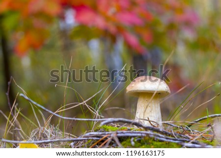 Small cep mushroom growing. Fungus grows in forest. Boletus grow in needles wood #1196163175
