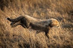 Small cheetah running fast in tall winter yellow grass in Serengeti Tanzania