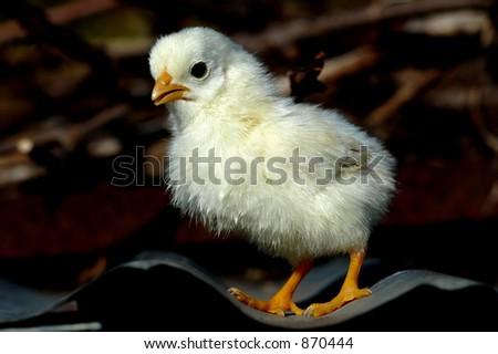 Small chicken