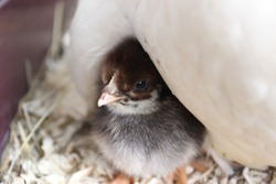 small chicks hiding under mother hen looking out in the world
