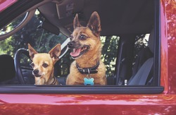 small chihuahua and a pug mix in a red vehicle looking out the window waiting for the owner to return toned with a retro vintage instagram filter app or action effect