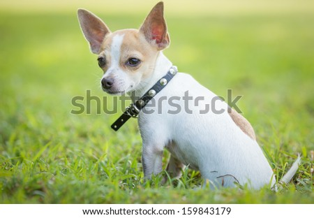 Small chihuahua dog sitting on a green grass park #159843179