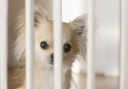 Small chihuahua dog waiting behind indoor dog fence on wood flooring