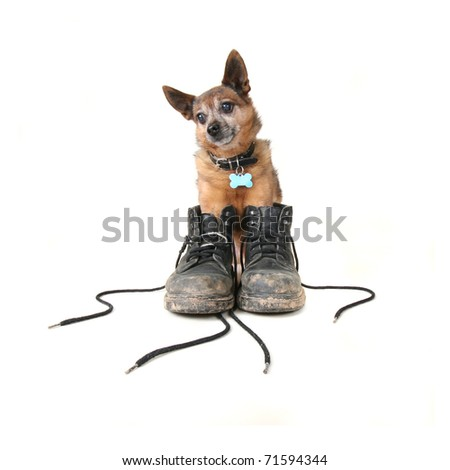 small chihuahua mix in a pair of dirty boots
