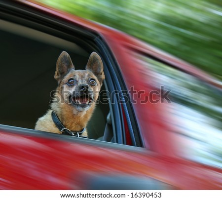 small chihuahua mix in a red vehicle