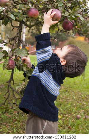 Small child picking a red apple from a tree.