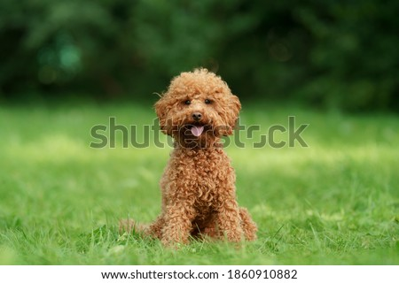 small chocolate poodle on the grass. Pet in nature. Cute dog like a toy