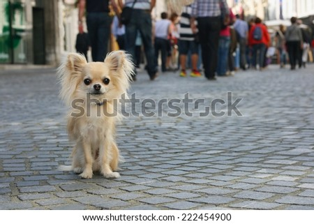 Small city dog on leash, chihuahua, sitting on pavement, people in background