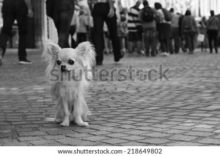 Small city dog, sad chihuahua, sitting all alone on pavement and looking for company, people in background, black and white