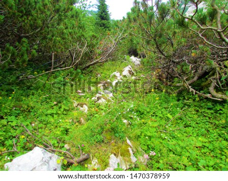 Small clearing in the middle of creeping pine (Pinus mugo) vegetation with rocks covering the flower and lush alpine vegetation #1470378959