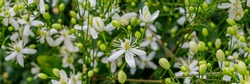 Small Clematis flammula fragrant flowers, banner. Beautiful white blooms of Clematis fragrant virgin's bower in summer garden