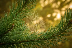 small cobweb between the pine needles